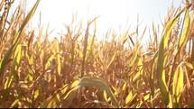 corn field blowing in the breeze