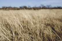 tall dry grasses in a field