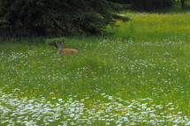deer laing down in field of flowers