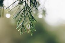 spider web on pine needles