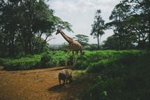 Giraffe and wild hog in the jungle