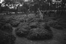 Giraffes in jungle