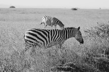 Zebras in the wild