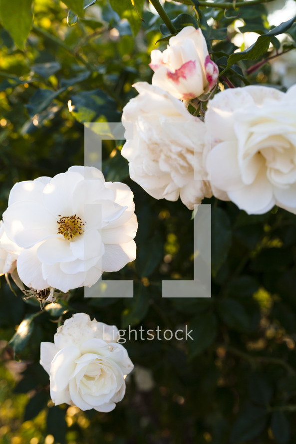 white roses on a bush