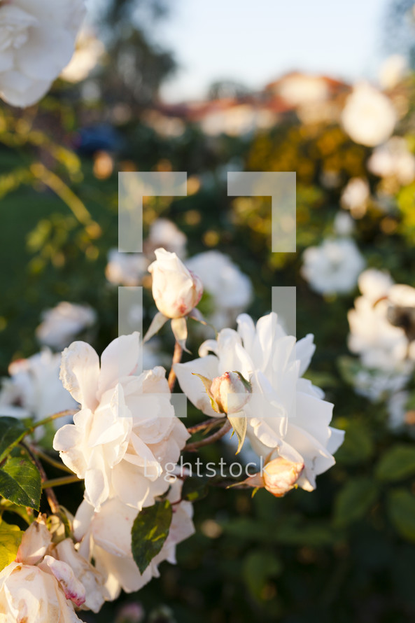 white roses on a bush