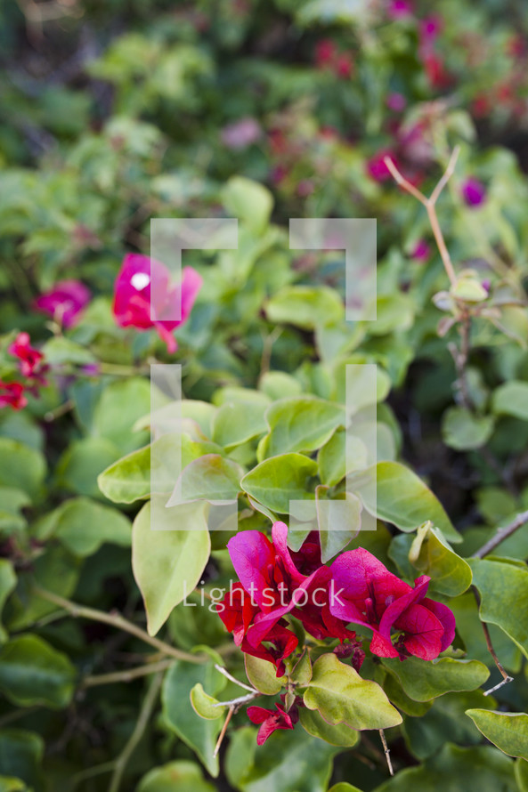 fuchsia flowers on a bush