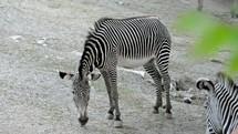 Grazing zebras.
