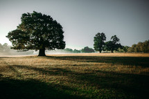 A giant oak tree standing in the misty morning casting shadows over a dewey pasture.
