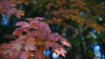 fall leaves on a maple tree