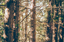 tree trunks in a Forest