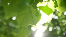 green summer leaves on a tree