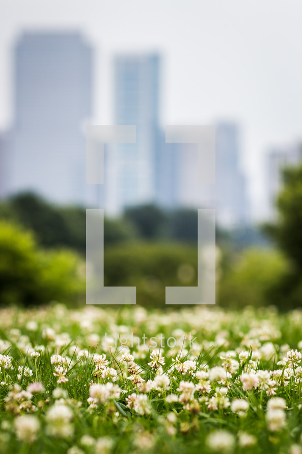 clover flowers in grass in a park in Chicago