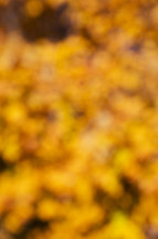 bokeh golden fall leaves