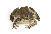 American bullfrog on a white background