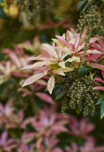 green, pink, and red leaves on a bush