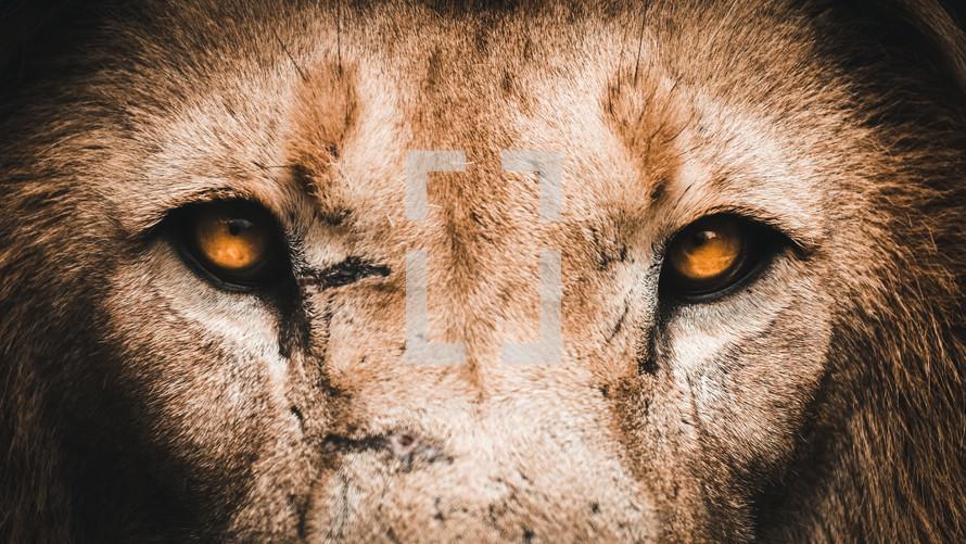 Lion eyes up close portrait