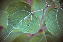 green leaves of a vine