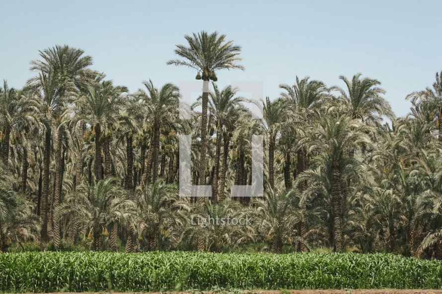 crops and palm forest