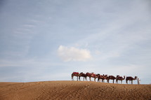 camels in a desert