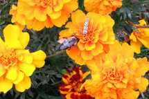 Four insects enjoy the sweet abundance of the marigolds.  The smallest, a tiny gnat, is hardly more than a speck on the edge of a petal directly under the bumblebee's head.  The orange and white one is a leaf-hopper.