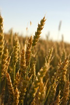 wheat grains. Autumn, fall, season, harvest, food, seed, crop, orange tares parable