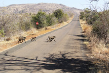 Wild baboons crossing a road in Africa