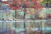 ducks on a pond in fall