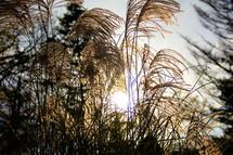 tuffs on tall grasses