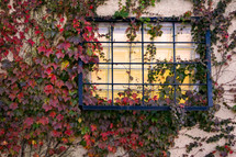 brown ivy on a wall and window