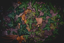 green ivy and fall leaves
