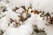 autumn leaves covered in snow