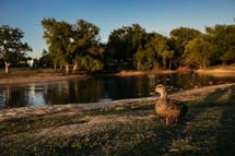 mallard duck on a lake shore