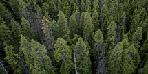 above a pine forest