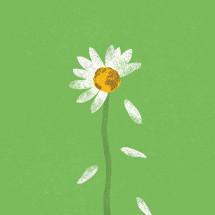 world concept, daisy earth loosing its petals