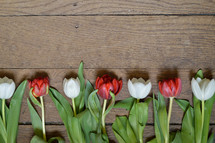 row of red and white tulips