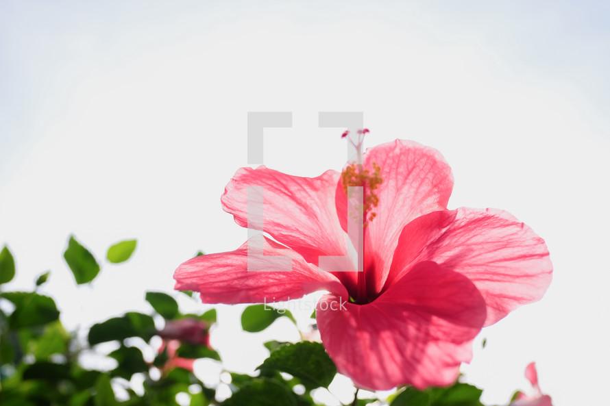 pink hibiscus flower