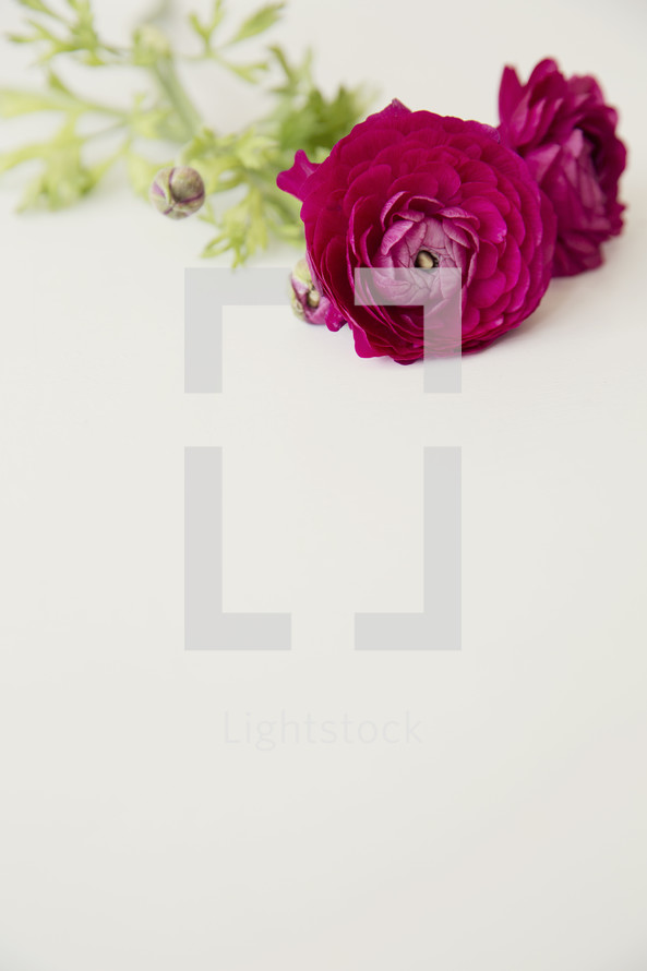 magenta flowers against a white background