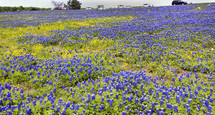 spring blue bonnets