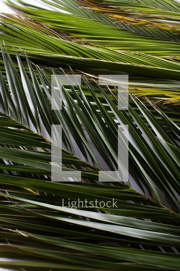 Palm fronds against a white background