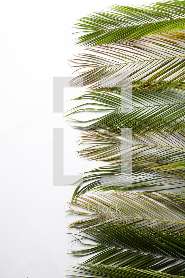 border Palm fronds against a white background