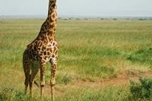 bottom half of a giraffe