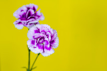 purple carnations against a yellow background