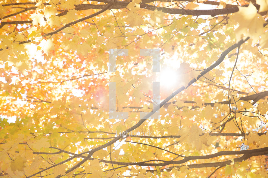 sunlight on yellow fall leaves on a tree