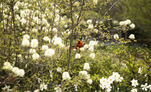 red cardinal on a blooming spring tree
