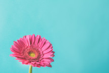 pink gerber daisy against a blue background