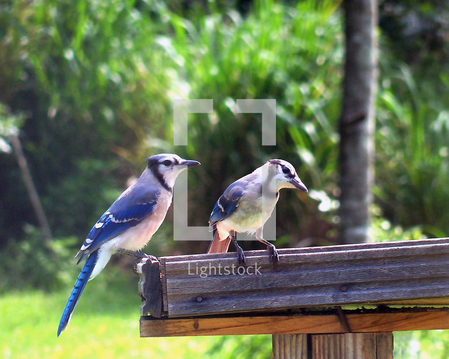 A pair of North American Blue Jay birds sit together at a backyard bird feeder in a tropical green backyard Florida landscape.