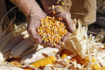 Farmer with a Blessed Harvest of Corn - Seed corn is pouring into his hands and overflowing to corn on ground.
