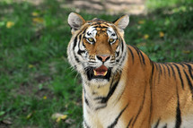 Tiger on green grass.