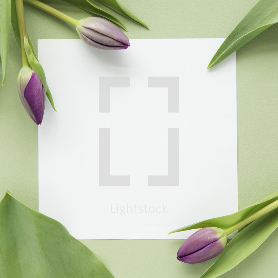 tulips and blank paper background.