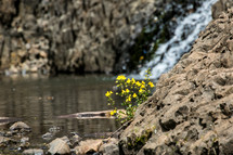 yellow flowers on rocks along a shore
